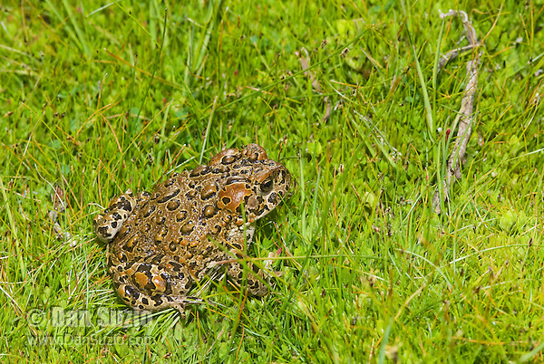 Female Yosemite toad, Bufo canorus, in a high elevation meadow in California's Sierra Nevada mountains. Once widespread in the high Sierra, since the 1980s Yosemite toads have disappeared or severely declined in over 50% of their former range, and now survive only in a handful of wet meadows. The toad is listed as a Species of Special Concern under the Federal Endangered Species Act as well as by the State of California, and is listed as Endangered by the IUCN.