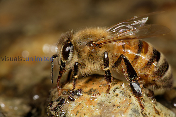 European Honey Bee (Apis mellifera) drinking water from a rock near the edge of a stream.