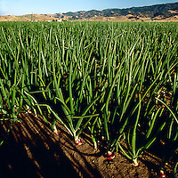 Agriculture - Clasp view of mid growth red onions / San Juan Bautista, California, USA