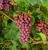 Agriculture - Produce, Crimson Seedless grapes on the vine / Fresno County, California, USA