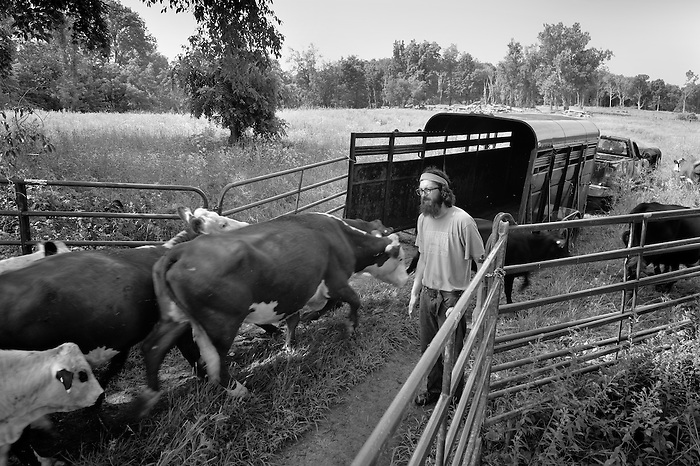 Orion of Lowland Farms loading cattle.