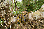 Reticulated python, Python reticulatus is a non-venomous python species found in Southeast Asia.