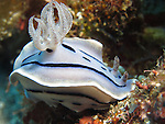Orchid Island, Taiwan -- The nudibranch Chromodoris willani crawling along the reef.<br />