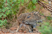 650520195 a baby javelina or collared peccary dicolytes tajacu on beto gutierrez ranch hidalgo county texas united states