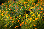 A field of yellow and orange wildflowers near Fredericksburg, Texas, Friday, July 24, 2009. (Darren Abate/pressphotointl.com)