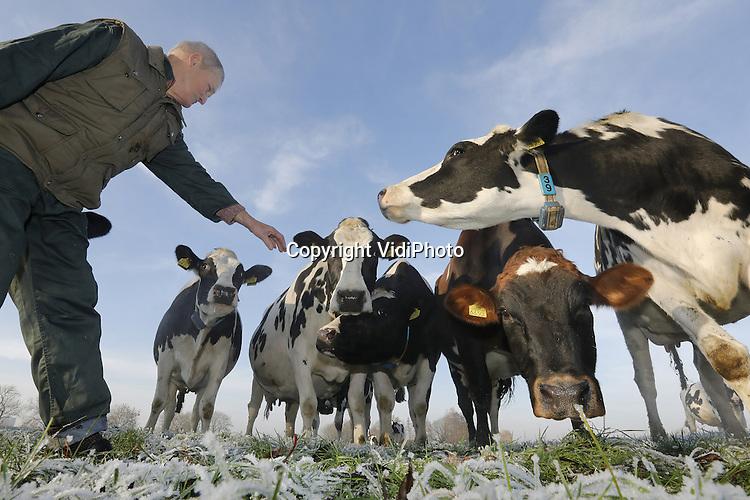 Foto: VidiPhoto<br /> <br /> DODEWAARD - Terwijl de meeste boeren hun koeien in de winter naar binnen halen, gaan ze bij melkveehouder Cor Baars uit Dodewaard dinsdagmiddag naar buiten. De 32 dieren mogen enkele uren in het bevroren weiland een frisse neus halen. Blij als een pasgeboren veulen, want ze dansen in de wei en hebben het zichtbaar goed naar hun zin. En ondanks dat het gras nauwelijks enige voedingswaarde bevat en ze in de stal al hun buik strak hebben gegeten, wordt er zelfs volop gegraasd. Volgens Baars smaakt het gras nu eenmaal lekkerder als de vorst er overheen is geweest. Voor het donker wordt gaan de dieren weer naar binnen. Zolang de grond hard blijft en ze het land niet kapot kunnen lopen, mogen de melkkoeien iedere dag even naar buiten. Baars (70) is al 50 jaar melkveehouder en is dol op zijn beesten.