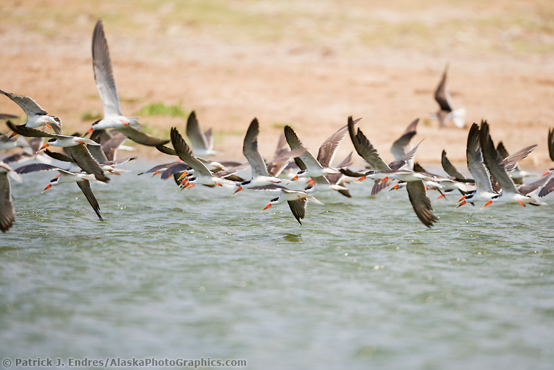 Skimmers, Kazinga Channel, Queen Elizabeth National Park, Uganda, East Africa