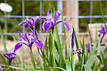 SCC Spring flowers