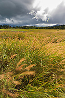 Wind blown grasses, Katmai National Park, Alaska.