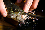 UC Davis researcher Louise Conrad flushes out a stunned fish on an electrofishing trip looking into invasive species near Discovery Bay, December 14, 2009.