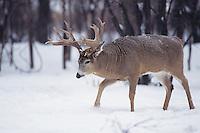 White-tailed Deer (Odocoileus virginianus), buck in snow, Minnesota, USA