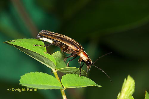 1C24-530z  Firefly Adult - Lightning Bug - Photuris spp.