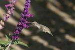 costa's hummingbird feeding