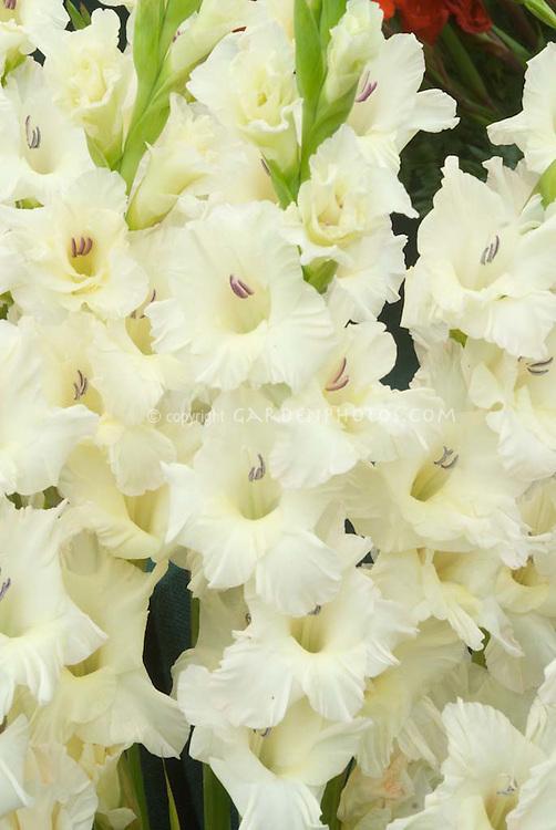 Gladioli Pearl Priscilla'(creamy white) summer bulb flowers