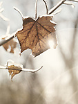 Frozen, covered with ice maple leaf on a tree on a shiny autumn day with beautiful lens flares. Artistic nature closeup.
