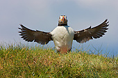 Atlantic Puffin (Fratercula arctica) Having a short flap of the wings almost preacher style. They seem to enjoy the ability to stand and survey the breeding site around them. The behaviour is also indicative of the breeding season, and whe in the company of others forms part of the communication when displeased with another Puffin.