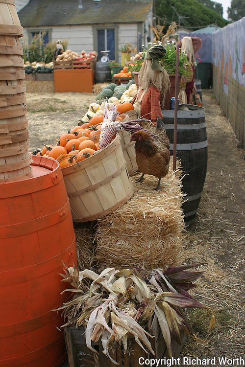 Fall colors of orange and red top the list of hues found among pumpkins and other gourds typical of the Halloween offering at Pumpkin Depot, Half Moon Bay, California. Oh, and then there is the chicken inspector.