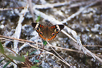 Female common buckeye in the Big Cypress National Preserve, off of Loop Road.