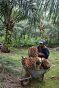 Workers cutting and collecting palm oil fruits in the High Conservation Value Forestry area which has been felled and has become the Sapuri (palm oil) Plantation for 'New Britain Oil Palm Limited', near Kimbe, West New Britain Island, Papua New Guinea, Wednesday 24th September 2008. The men who cut the fruits get paid 0.4 PNG Kina per 'fruit bunch' cut; the women who collect the drop single fruits get paid 120 PNG Kina per fortnight; the men who gather the 'fruit bunches' into the wheelbarrows and take them to roadside get paid 20 PNG Kina per 500 fruit bunches collected.