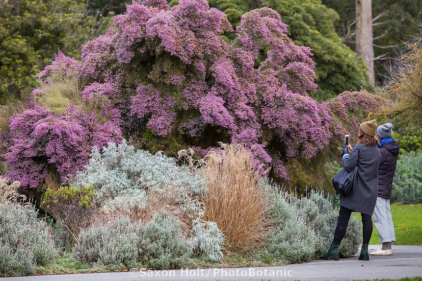 Garden visitors photographing Christmas Heather  (Erica) in winter at San Francisco Botanical Garden