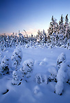 Snow on a spruce bog in Acadia National Park, Maine, USA