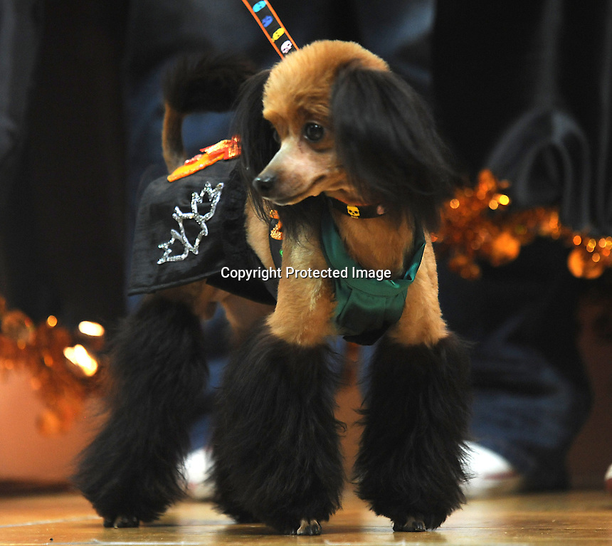 A dog at the Osaka Pet Expo fashion show held from 23rd till 25th September 2011, Japan.<br /> <br /> Photo by Richard Jones