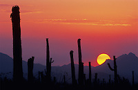 Saguaro Cactus (Carnegiea gigantea), Sunset, Saguaro National Park, Tucson, Arizona, USA