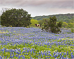 Another photo of a horse in a Bluebonnet field near Marble Falls, Texas. This time, the horse has wandered out into the field. This was the last image I took of him in the bluebonnets before he disappeared over the ridge.