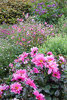 Dahlia 'Fascination' single pink flowers with dark black purple foliage & Anemone hupehensis var. japonica 'Splendens' in garden use in autumn fall scene view