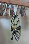 chrysalis and emerging butterfly