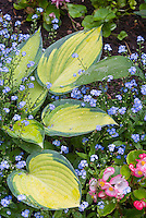 Hosta June with Begonia and forget-me-nots blue flowers Myosotis in spring, perennial foliage plant with perennials flowers and annual blooms in late spring May-June