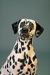 Dalmatian head study in the studio, against grey background Shopping cart has 3 Tabs:<br />