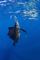 RG41097-D. Atlantic Sailfish (Istiophorus albicans) feeding on Spanish sardines (Sardinella aurita). It uses its sharp bill like a sword to slash at the baitball, knocking a sardine or two out of the school and stunning it. Then the sailfish swallows the sardine whole. Gulf of Mexico, Mexico, Caribbean Sea.<br /> Photo Copyright &copy; Brandon Cole. All rights reserved worldwide.  www.brandoncole.com