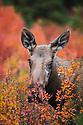 Alaska, Denali National Park, cow moose amongst dwarf birch bushes in fall colors, rutting season