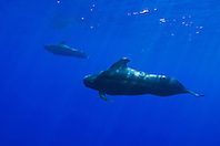Short-finned Pilot Whales, Globicephala macrorhynchus, bull - large male in front, off Kona Coast, Big Island, Hawaii, Pacific Ocean.