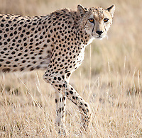 Alert female cheetah walking past looking at the camera in Kenya, Africa Sunset over Amboseli, Kenya, Africa (photo by Wildlife Photographer Matt Considine)