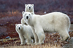 Canada, Manitoba, Churchill, polar bear (Ursus maritimus) and two cubs