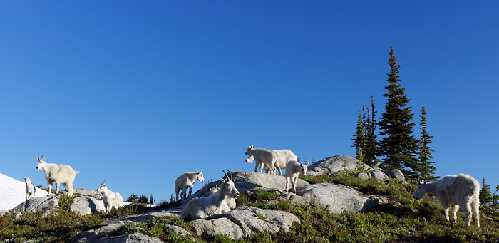 Mountain goats near Robin Lakes, Wenatchee Mountains, central Washington Cascade Mountains