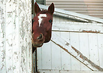 Horse peeks around corner of white barn with some horse play Pennsylvania,  Horse looks around barn door,  Fine art Photography and Stock Photography by Ronald T. Bennett <br />