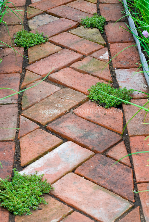 Thymes (Thymus) amid brick pathway