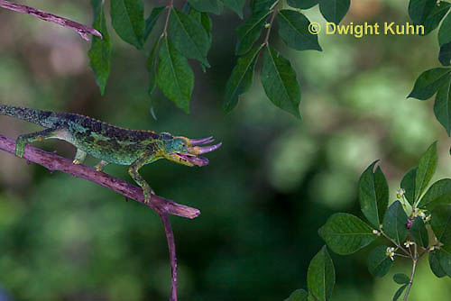 CH34-527z  Male Jackson's Chameleon or Three-horned Chameleon tongue flicking to catch insect prey, Chamaeleo jacksonii