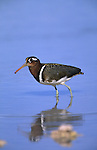 Greater painted snipe, Rostratula benghalensis, female, Etosha, Namibia