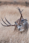 mature trophy muledeer buck rutting doe droptine buck