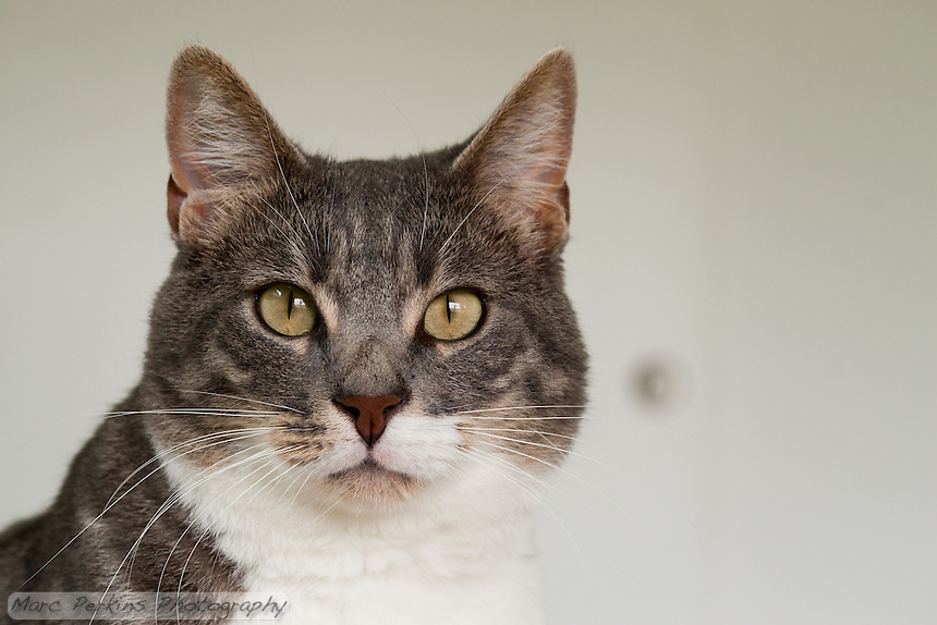 Bertie, a blue tabby and white shorthair cat, looking a bit surprised as he stares directly into the camera.