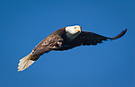 """Blackie"" the eagle flies past and looks at those watching his nest from afar in the May River near Bluffton, S.C."