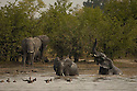 Elephants Dwarf goose pan