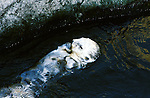California:  Sea otter near Monterey..Photo copyright Lee Foster, 510-549-2202, lee@fostertravel.com, www.fostertravel.com..Photo #: caelkh102