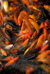 Koi fish, feeding at surface of water, orange colours, colourful, swirling.China....