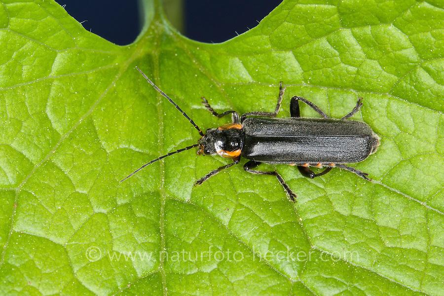 Weichkäfer, Cantharis paradoxa, Weichkäfer, Cantharidae, soldier beetle, soldier beetles, cantharid, cantharids