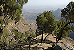 Trees, Simien Mountains National Park, Ethiopia, 3260m 10,700ft high, escarpment edge near Buyit Ras.Africa....